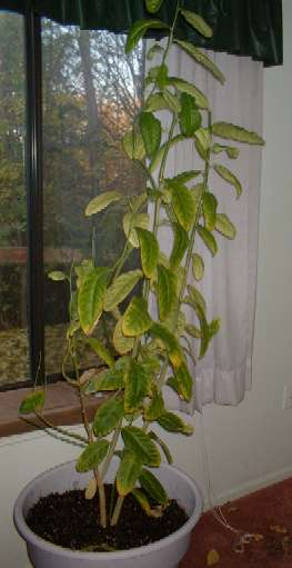 Etrog tree - 3 years